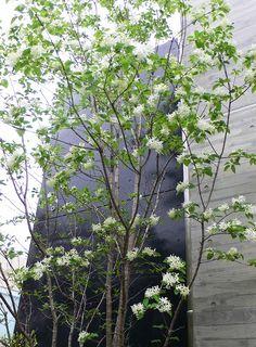 """先日アオダモの花でお伝えした浄水通りのビル西側の坂道に沿って入れた、ナンジャモンジャの木が花を咲かせ始めていましたヒトツバダコ 通称""""ナンジャモンジャの木""""は初めて見た人があまりに美しいその花木を「何じゃ!どこのもんじゃ!」とうなったのか正 Terrace Design, Garden Design, Indoor Garden, Trees To Plant, Garden Inspiration, Exterior, Japanese, Landscape, Bali"""