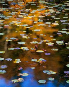 Eliot Porter - Lily Pads