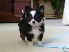 Chihuahua puppy these little guys are just to cute #Chihuahua