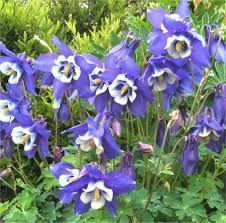 AQUILEGIA caerulea 'Blue Star' - Akeleje, farve: blå/hvid, lysforhold: sol/halvskygge, højde: 50 cm, blomstring: juni, velegnet til snit.
