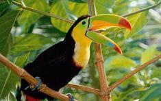 Toucan: Toucan uses beak to keep it cool