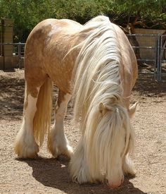 Milk and honey - Gypsy Vanner Stallion - named Romeo I love these Gypsy horses, they are among the most BEAUTIFUL horses ever! Caballos Clydesdale, Clydesdale Horses, Breyer Horses, Most Beautiful Animals, Beautiful Horses, Beautiful Creatures, Palomino, Gypsy Horse, Yorky