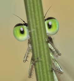 A damselfly's eyes and legs are visible as it tries to hide behind a blade of grass in Barcelona, Spain. (Tomas Polaino Artiaga/Solent/Rex)
