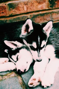Fantastic huskies information is offered on our internet site. Fun Facts About Animals, Animal Facts, My Animal, Cute Puppies, Cute Dogs, Dogs And Puppies, Doggies, Animals And Pets, Baby Animals