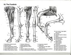 Pin by Izabella Gowdy on Horse Anatomy   Pinterest   Horse, Anatomy ...