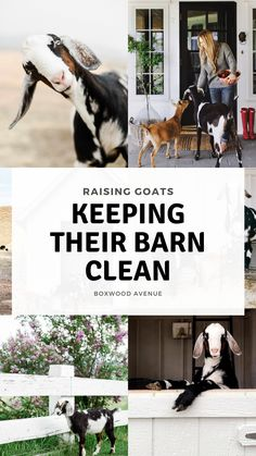 One of the many questions I receive about raising goats and keeping goats as pets is: How do you keep the goat barn clean? Today I am going to share how I keep our goat barn clean and how we keep our pet goats healthy! Keeping Goats, Raising Goats, Goat Shed, Small Goat, Goat Shelter, Goat House, Goat Barn, Dwarf Goats, Large Dog Crate