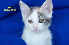 Briel a Calico Torbie Kitten for Adoption