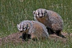 American Badger, Sheep Lakes, Rocky Mountain National Park, Colorado
