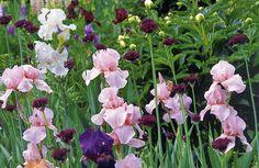 Bart-Iris: Von wegen alter Hut - Mein schöner Garten