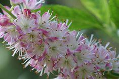 Clethra Alnifolia  Trata-se de uma planta com flores cor-de-rosa e folhas decíduas e é conhecida por atrair todo o tipo de borboletas. Ela floresce na primavera e ostenta uma altura média de 2 a 2,5 metros. A Clethra alnifolia pode ser plantada em solos húmidos e molhados e, no momento do seu cultivo, deve ter em atenção que esta flor precisa de uma cobertura de palha para conservar a sua humidade