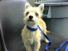DEVORE,CA. EUTH LIST. 11/08/17. Emma ID#A684842. 14 week old female Terrier mix. Medical Waiver Required (exposed to Parvo). Arrived 11/04/17.