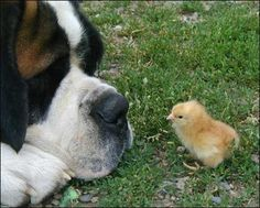 Google Image Result for http://www.dogebookguide.com/image%2520gallery/dog-and-chick.jpg