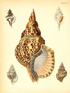 Znalezione obrazy dla zapytania seashell prints