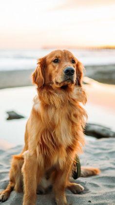 Group Golden Retrievers Best Dog Breed Ever Cute Dogs Cute