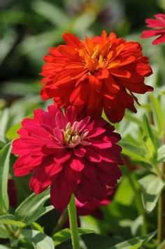 Zinnia 'Double Zahara Cherry' and 'Double Zahara Fire'....My mom had the most beautiful zinnia and aster garden...also dahlias and such a beautiful rock garden...wish her and my dad were here still to hone my gardening skills!!