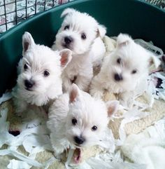 Quality West Highland Terrier Puppies - Photo can find West highland terrier and more on our website. Westies, Westie Puppies, Terrier Puppies, Cute Puppies, Dogs And Puppies, Terriers, Chihuahua Dogs, Terrier Mix, West Highland Terrier Puppy