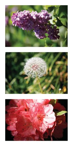 using my new lens, I took a few pictures of flowers and a dandelion to test it out.
