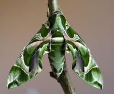Polilla-Halcón Oleander: Esta especie es también conocida como polilla verde del ejército, por su parecido al camuflaje verde.
