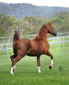 "Mulawa Stallions - ""FAME MAKER R"" (http://www.mulawaarabians.com.au/mulawa-stallions)"