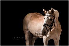 Halflinger Equine Pictures