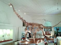 Réplique du squelette d'un Maxakalisaurus, National Museum of Brazil (MN-UFRJ). Dinosauria, Saurischia, Sauropoda, Eusauropoda, Macronaria, Somphospondyli, Titanosauria, Lithostrotia, Aeolosauridae. Auteur : National Museum of Brazil, 2015.
