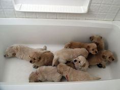 golden retriever puppies in a tub. happening.  Want goldendoodle pups