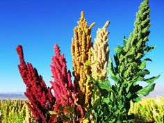 Acabar con el hambre es posible: La Quinoa - La Huertina De Toni Quinoa Seeds, Organic Quinoa, Good Sources Of Protein, Vegetable Protein, Grass Seed, Cactus Plants, Rainbow Colors, Beautiful Gardens, Grains