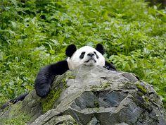 © WWF Giant panda resting - Wolong Panda Reserve, China.