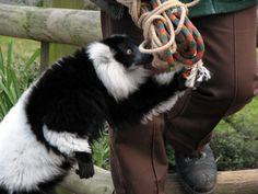 stuffed animalstuffed black and white ruffed | Black-and-white Ruffed Lemur, 11-inch Cuddlekins stuffed animal ...