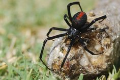 The black widow, I think, I always thought the red spot was on the belly.  ANYWAY, they are one of the deadly ones...!!!