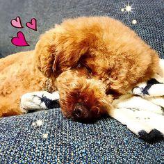 ✳︎ こんな寝顔見ると 幸せ💕 ✳︎ (ㅅ˘˘)おやすみなさい♡*.+゜ #puddlelove#_international_animals_#todayswanko#all_dog_japan#doglover#instapoodle#redpoodle#貴婦狗#わんこ#愛犬#トイプードル#dogsofistagram#豆助#まめすけ#ilovemydog#caniche#pawsomepoodles#ig_dogphoto #superdog_world#total_dogs#poodles_petsagram#poodlelove#ペピ友#top_poodle_cute#pecon#cute_poodles_of_insta