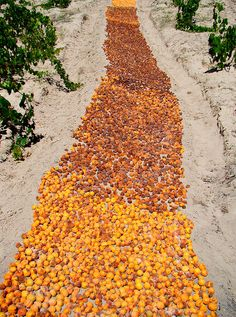 Carpet of apricots d