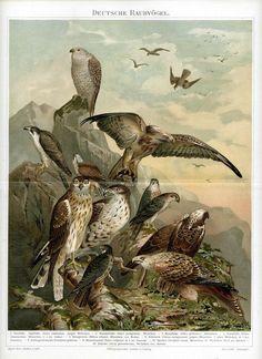 1894 birds of prey original antique falcon by antiqueprintstore, $42.50