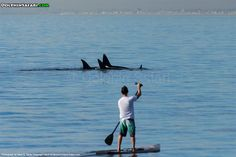This lucky paddleboarder had an incredible, rare encounter with Orca near Dana Point, CA! Photo by Naturalist Mark Tyson | www.dolphinsafari.com |  #paddleboard #SUP #orca #killerwhale #whales #whalewatching #danapoint #lagunabeach #outdoors #socal #california #blackfish