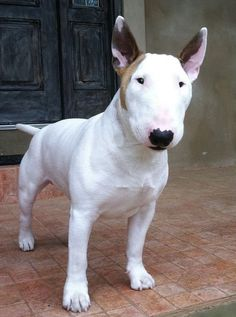 So dashingly Dash, the mini Bull Terrier.