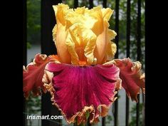 Sweet And Spacey Tall Bearded Iris