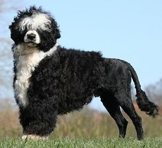 my love Portuguese water dog
