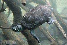 Snapper turtle San Diego Zoo  |  2929 Zoo Drive, San Diego, CA