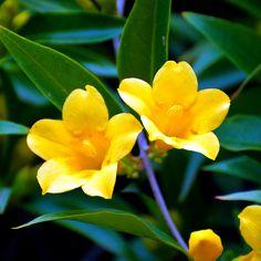 Yellow jessamine - SC State Flowers