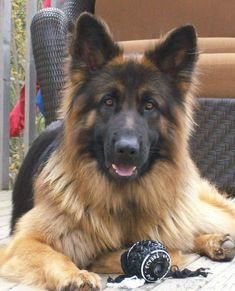 I can't wait to get the time so I can get another german shepherd. My favorite dog ever. RIP Ciara #germanshepherd