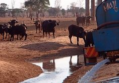 Buffalo approach a watering hole after a farmer delivers water from a tanker to thirsty wildlife at the Tsavo-west national park in southern Kenya