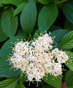 Dogwood Shrub, Yellow Twig Dogwood, Flower Garden Layouts, Winter Background, How To Attract Birds, Spring Blooms, Types Of Soil, Flowering Trees, Bud