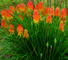 Great Design Plant: Red-Hot Poker - You'll carry a torch for these spiky plants once you discover how their fiery-hued flowers can light up a landscape. (I love RHP, and have been meaning to plant some in my yard! ~UDG)