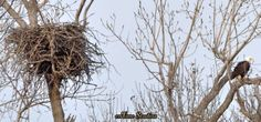 Eagle and its nest by Jeff Davis