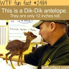 Pictures of the small antelope, Dik-Dik - WTF fun facts