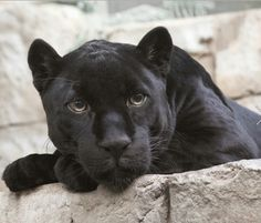 Meet Flynn in his panther form from my paranormal wip. Cute Wild Animals, Animals And Pets, Black Panthers, Big Cats, Cats And Kittens, Siamese Cats, Beautiful Cats, Animals Beautiful, Chat Lion