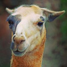 Curiosa... #llama #cabarceno #animals