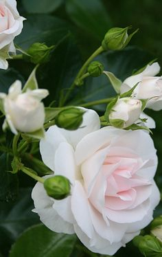 Captivating Why Rose Gardening Is So Addictive Ideas. Stupefying Why Rose Gardening Is So Addictive Ideas. Wonderful Flowers, All Flowers, Exotic Flowers, Beautiful Roses, Beautiful Flowers, Wedding Flowers, White Roses, Pink Roses, White Flowers