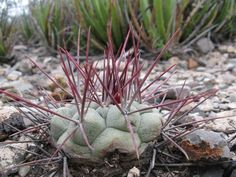 Thelocactus hexaedrophorus PD72, Zacatecas (La Mejorada), Mexicó