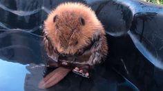 Un cucciolo di castoro non controlla la coda e si ribalta nell'acqua